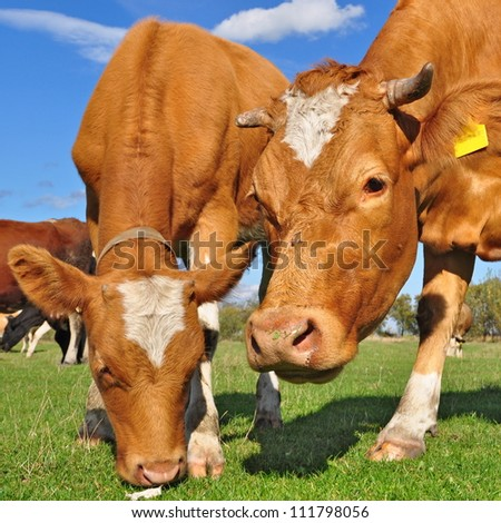 The calf near mother on a summer pasture - stock photo