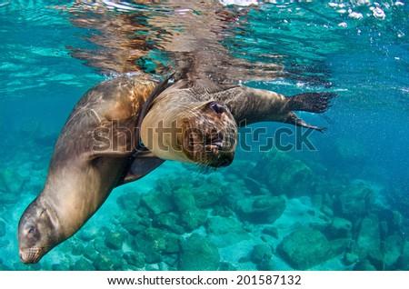 The Californian sea lions of Mexico's Baja California - stock photo