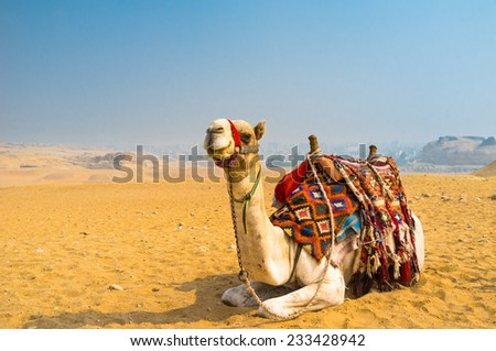 The camel feels great in desert, despite the heat, Giza, Egypt. - stock photo