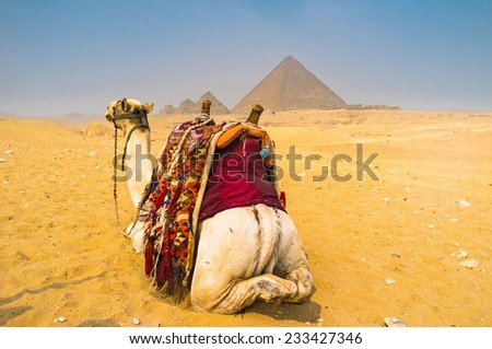 The camel from the back in Giza Necropolis, Egypt. - stock photo