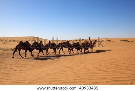 The camels in a line going through the Inner Mongolian desert in China. - stock photo