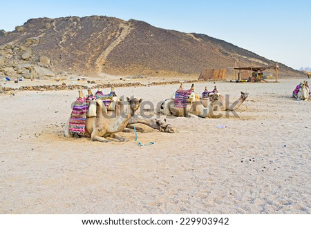 The camels rest on the sand after hard working day, Bedouin village, Sahara, Egypt. - stock photo