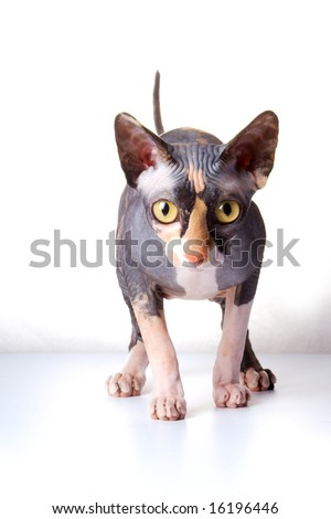 The Canadian sphynx. light background - stock photo