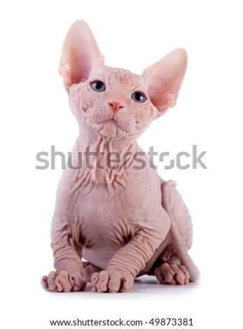 The Canadian sphynx on a white background - stock photo