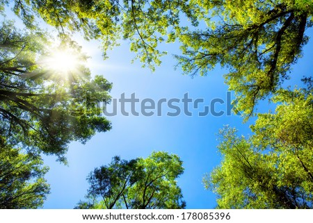 The canopy of tall trees framing a clear blue sky, with the sun shining through - stock photo