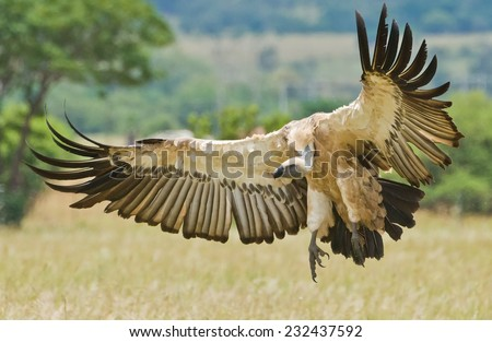 The Cape Griffon or Cape Vulture (Gyps coprotheres) at Vulpro, South Africa - stock photo