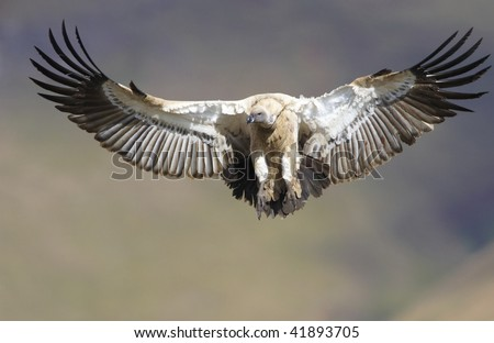 The Cape Griffon or Cape Vulture (Gyps coprotheres) flying in South Africa. It is an Old World vulture in the Accipitridae family