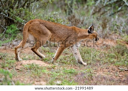 The Caracal - stock photo