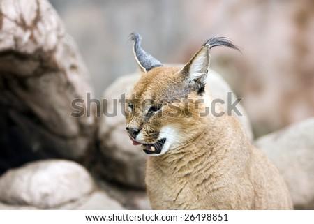 The Caracal (Caracal caracal), also called Persian Lynx or African Lynx - stock photo