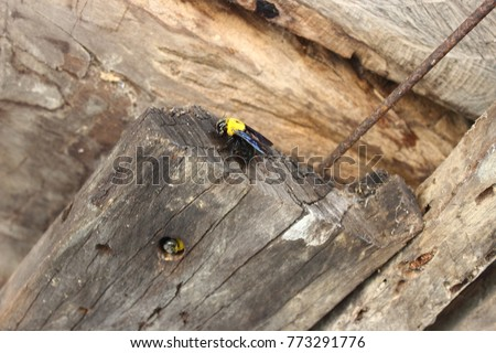 The Carpenter Bee Is Moving Into Its Nest And Living In Life Cycle
