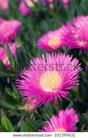 "The carpobrotus edulis is native to South Africa and is also known as ""Ice Plant"". - stock photo"