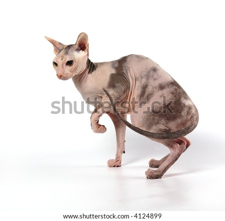 The cat of breed of donskoy sphinx - stock photo