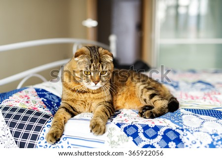 The cat of the British breed of a tiger color lies on a sofa - stock photo