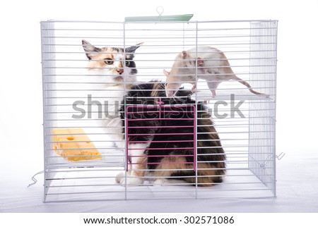 The cat sits in a cage with a big white rat