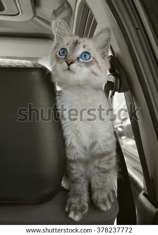 The cat sits in the car on a seat and looks upwards