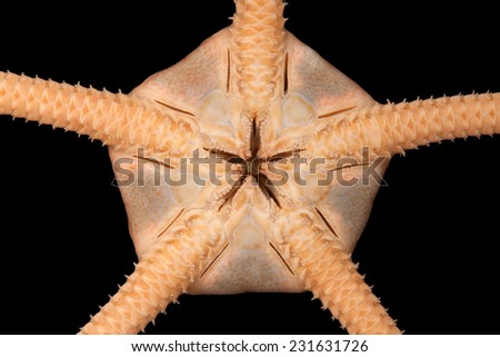 The central disk of the Brittle star Ofiopleura bottom view - stock photo