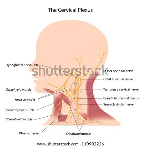 The cervical plexus - stock photo
