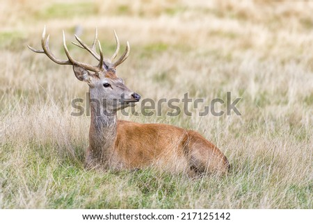 The Cervus Elaphus, known as red deer. The male red deer is called Stag or Hart. - stock photo
