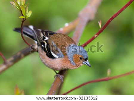 The chaffinch on a branch of a tree in the spring - stock photo