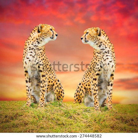 The Cheetah (Acinonyx jubatus) couple in african savanna. Warm filtered look. - stock photo