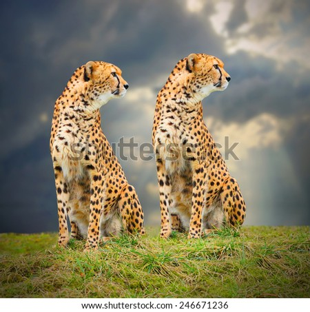 The Cheetah (Acinonyx jubatus) in african savanna. Fastest mammal on the world as fast as 112 to 120 km/h (70 to 75 mph). - stock photo