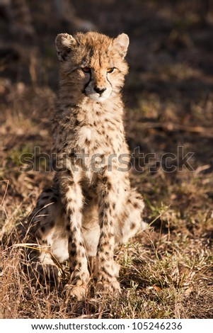 The cheetah (acinonyx jubatus) is a member of the cat family (felidae). as the fastest land mammal, it is unique in its speed, yet lacks climbing abilities. - stock photo