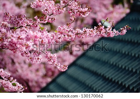 the cherry folwers - stock photo