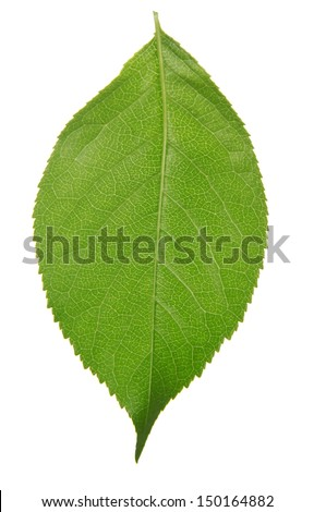 The cherry green leaf isolated on white - stock photo