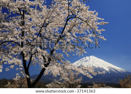 The cherry trees are in full blossom - stock photo