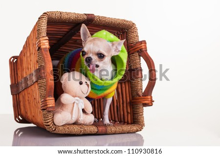 The chihuahua and her best teddy friend in the bucket. - stock photo