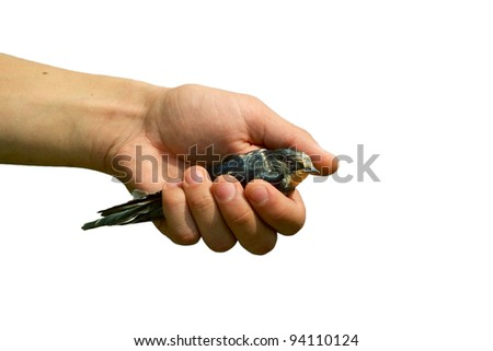 The children's hand holding a swallow on a white background