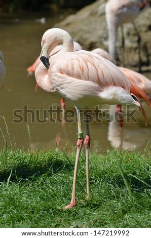 The Chilean Flamingo (Phoenicopterus chilensis) is a large species of flamingo - stock photo