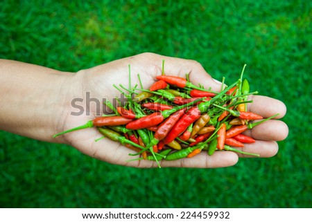 The chili peppers freshest and hottest, On hand and lawn - stock photo