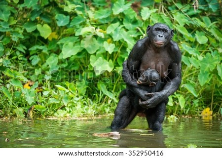 The chimpanzee Bonobo with cub in the water . At a short distance, close up. The Bonobo ( Pan paniscus), called the pygmy chimpanzee. Democratic Republic of Congo. Africa - stock photo