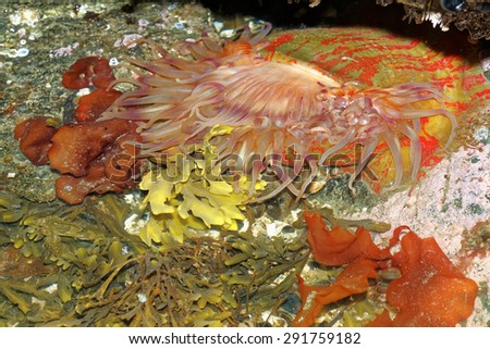 The Christmas  Anemone is a widespread ocean creature that lives along rocky coastlines - stock photo