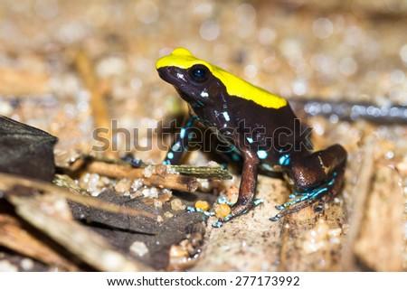The Climbing Mantella frog (Mantella laevigata) on the island Nosy Mangabe in Masoala National Park, Madagascar - stock photo
