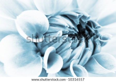 The close up center of dahlia flower