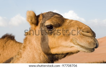 The close-up image of one arabian camel in the sunset on a safari in Dubai.