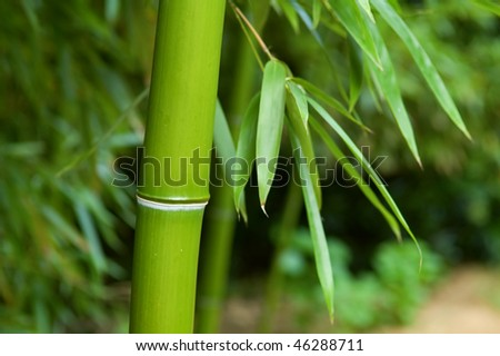 The close up of bamboo tree in forest - stock photo
