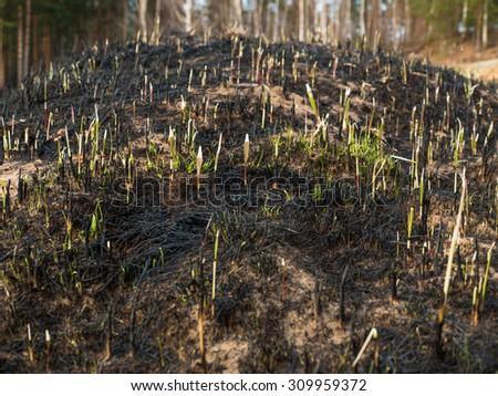 The close-up of young green sprout after fire. - stock photo