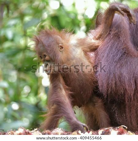 The close up portrait of Baby orangutan (Pongo pygmaeus) . Borneo, Indonesia. - stock photo