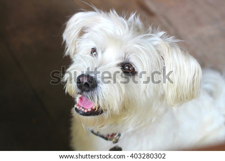 The close up shot of Westie Terrier dog