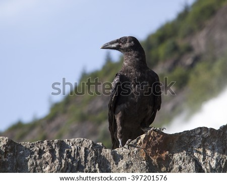 The close view of a crow in Mendenhall Glacier park (Juneau, Alaska). - stock photo