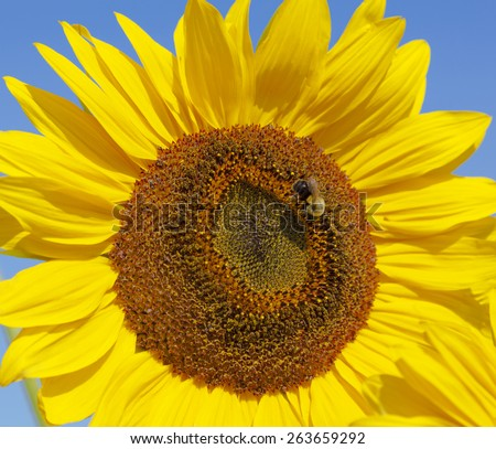 The close view of a sunflower with a bee on it. - stock photo