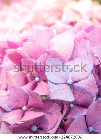 The Closed-Up Pink Hydrangea - stock photo