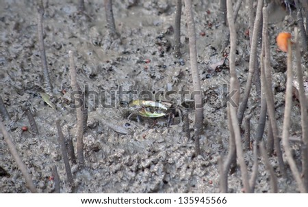 The closeup of fiddler crab in a mangrove forest. - stock photo
