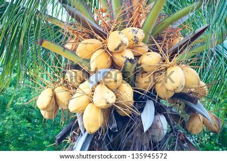 The closeup of Malayan Yellow Dwarf (MYD) coconuts. - stock photo