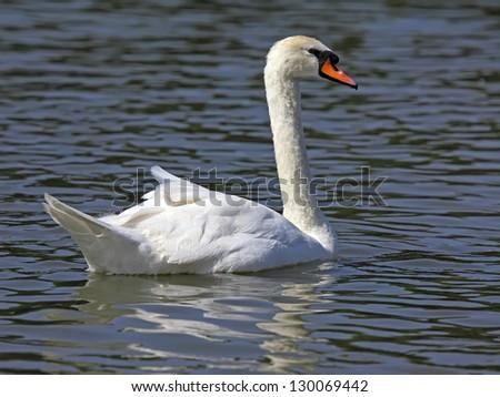 The closeup of white swan - stock photo