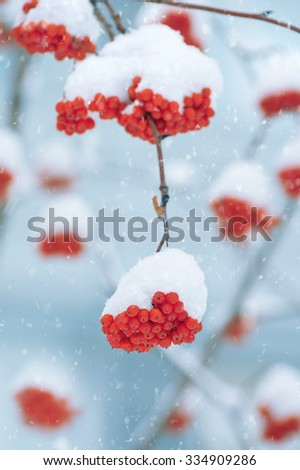 The clusters of a bright mountain ash covered with snow - stock photo