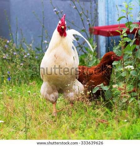 The cock and hen on traditional free range poultry farm - stock photo